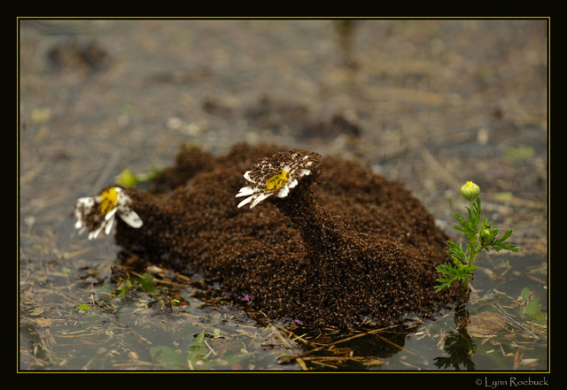 Normandy Lake: Floating Fire Ant Ball   Flickr - Photo ...