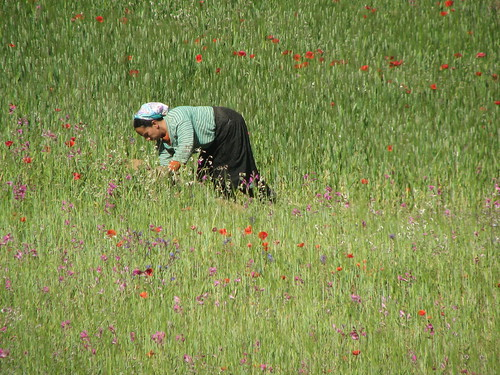 woman picking flowers, Atlas mountains, road to Ouarzazate