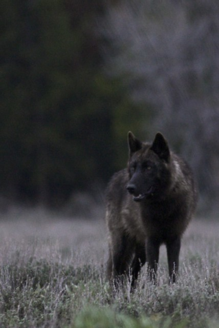 The life of black wolves a gallery on flickr black wolf sciox Images