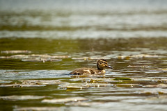 Duckling Swimming Through Lily Pads in Pond