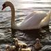 swan ©li-la-lutz