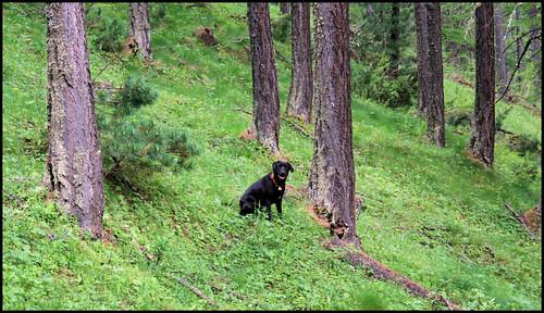 Labrador nel Bosco
