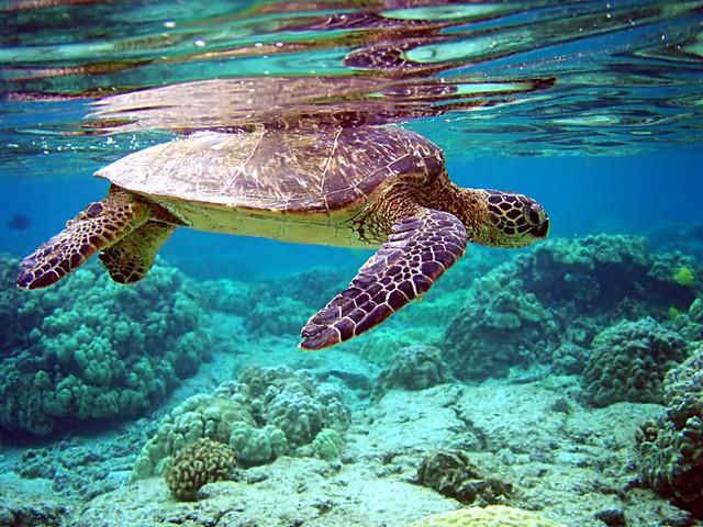 Green turtle chelonia mydas flickr photo sharing for Trodel mobel