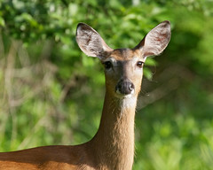 animal(1.0), deer(1.0), fauna(1.0), white-tailed deer(1.0), musk deer(1.0), impala(1.0), wildlife(1.0),