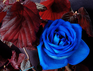 Blue Rose - Contrast with nature
