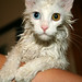 wet white cat by Novanto