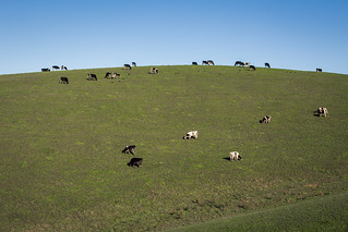 Cows Eating Grass on a Hill