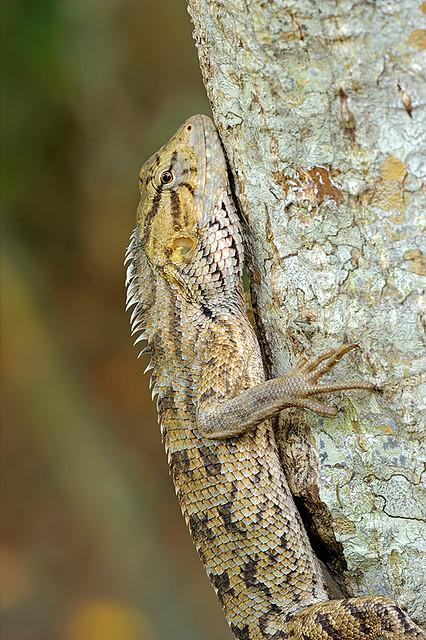 090226 - Changeable Lizard
