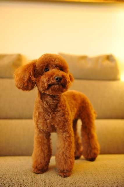 Image Result For Toy Poodle For