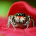Adult Male Jumping Spider Hiding in Leaves - (Habronattus coecatus)