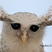 เค้าใหญ่พันธุ์เนปาล Spot-bellied Eagle-Owl by somchai@2008