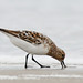 Calidris - Photo (c) Steve Berardi, some rights reserved (CC BY-SA)