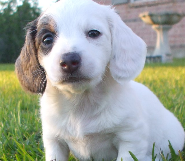 pup#3 almost solid white dachshund miniature AKC female puppy blue ...