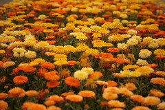 Marigolds, Sungold Farms, Forest Grove, Oregon