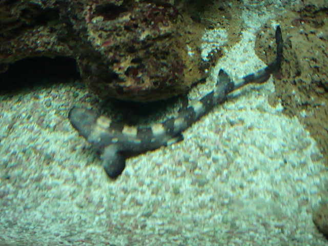 Whitespotted bamboo shark