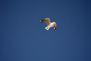 Imagen de Dee Why Beach cerca de Dee Why. bird animal wildlife seagull sydney australia places newsouthwales deewhy deewhybeach canonefs1855mmf3556 canoneos400d