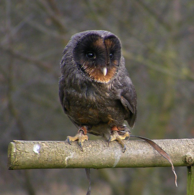 Black barn owl flickr photo sharing for Food bar owl