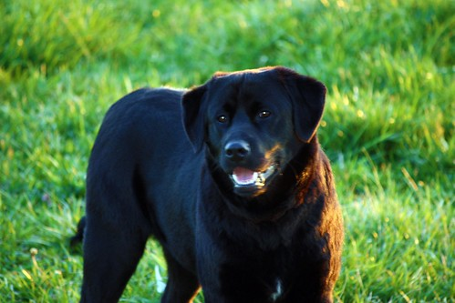dog puppy lab labrador canine blacklab doggie champ blacklabrador blacklabgoldenretrievermix