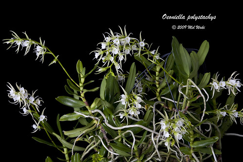 Oeoniella polystachys