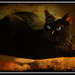 Small photo of GIAN'S BLACK CAT