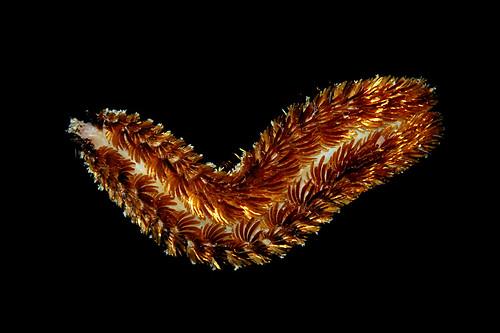 Pontogenia sp (Pontogeniidae), GBR, Australia