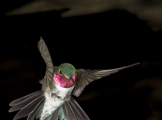male_broad-tailed_hummingbird2