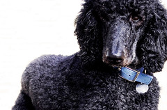 miniature poodle, standard poodle, dog breed, animal, dog, curly coated retriever, pet, mammal, irish water spaniel, poodle, portuguese water dog, barbet, american water spaniel,