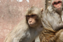 tufted capuchin(0.0), japanese macaque(0.0), animal(1.0), monkey(1.0), mammal(1.0), fauna(1.0), old world monkey(1.0), new world monkey(1.0), macaque(1.0), wildlife(1.0),