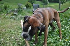 dog breed(1.0), animal(1.0), dog(1.0), old english bulldog(1.0), pet(1.0), olde english bulldogge(1.0), carnivoran(1.0), boxer(1.0),