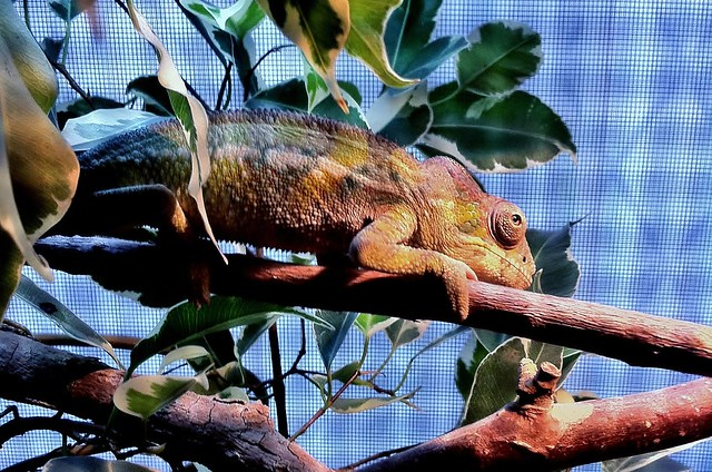 Recent Photos The Commons Getty Collection Galleries World Map App    Baby Ambilobe Panther Chameleon