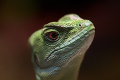 animal, iguania, reptile, lizard, macro photography, green, fauna, close-up, scaled reptile,
