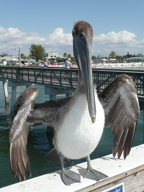 Fort myers beach pelican flickr photo sharing for Pelican motors fort myers florida