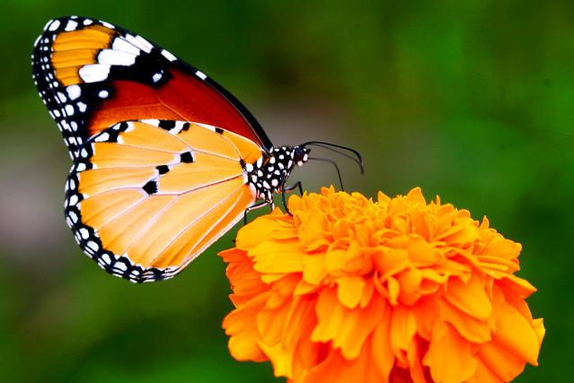 Butterflies in my head - Luang Prabang, Laos