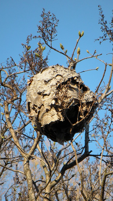 Wasp nest, Lilac Collection, BBG, March 2009
