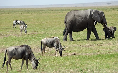 park elephant game nikon kenya reserve safari national wildebeest amboseli 5photosaday d80