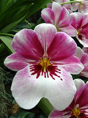 Pink beauty ( Miltonopsis)