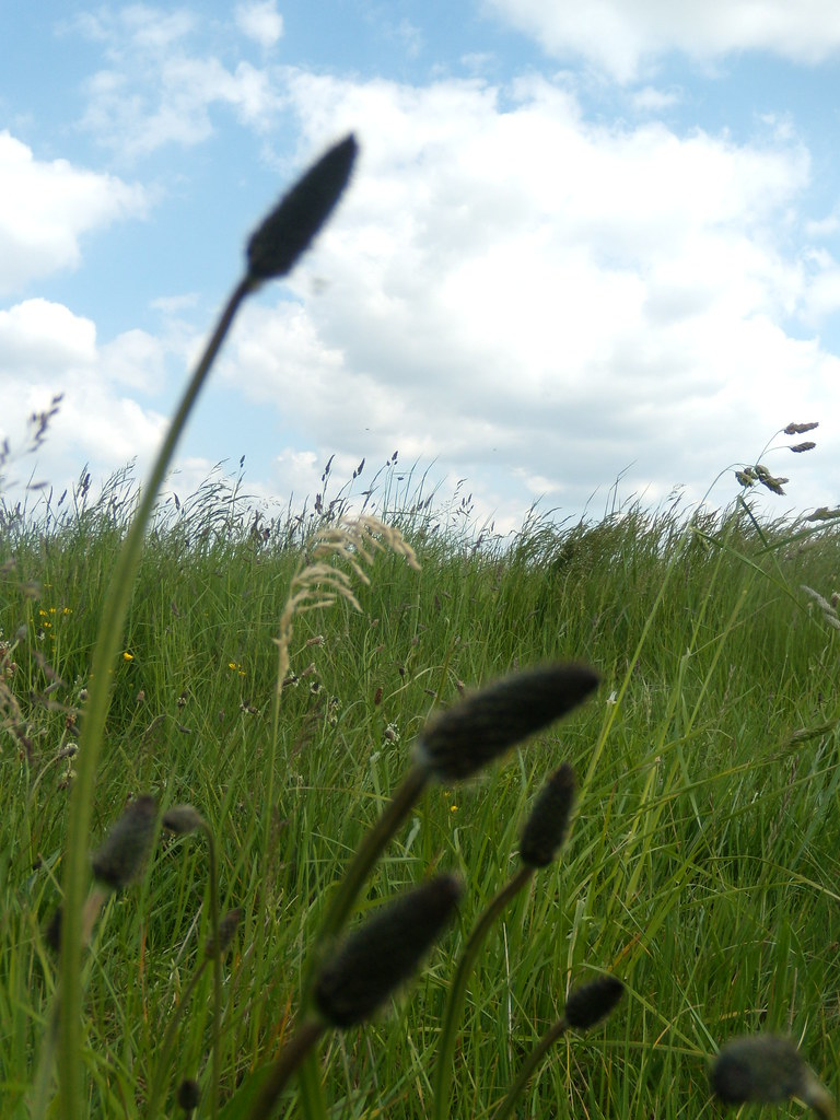 Plantain in the grass Cholsey to Goring