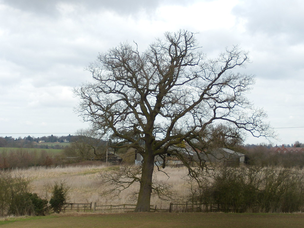 Impressive tree Bow Brickhill to Woburn Sands