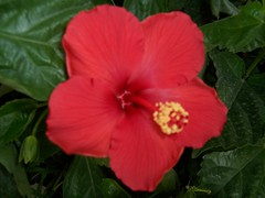 shrub(0.0), annual plant(1.0), flower(1.0), malvales(1.0), chinese hibiscus(1.0), rosa chinensis(1.0), petal(1.0),