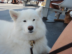 white shepherd(0.0), east siberian laika(0.0), northern inuit dog(0.0), wolfdog(0.0), dog breed(1.0), animal(1.0), dog(1.0), japanese spitz(1.0), pet(1.0), berger blanc suisse(1.0), greenland dog(1.0), kishu(1.0), native american indian dog(1.0), carnivoran(1.0), american eskimo dog(1.0), samoyed(1.0),