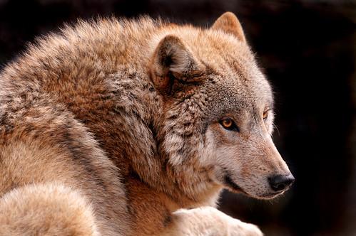 Sunny wolf