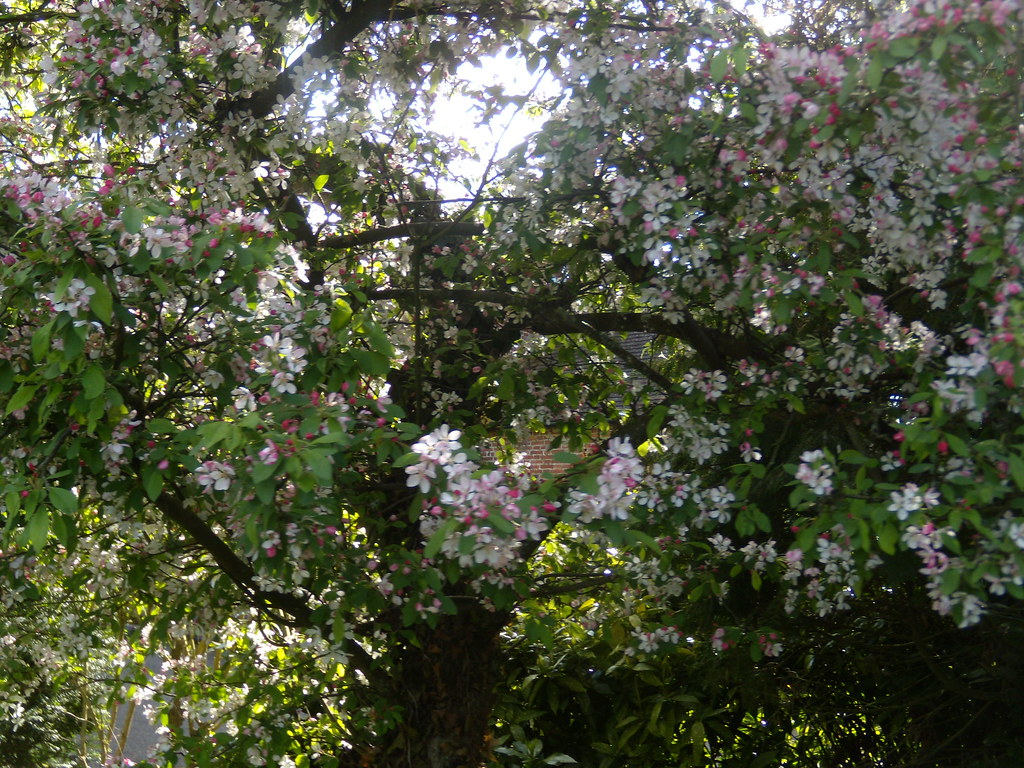 Apple Blossom Hurst Green to Chiddingstone Causeway