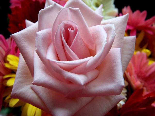 Rosas 0006