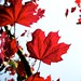 Red leafs in the sun ©Martijn A.C. Snels