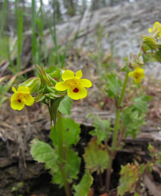 monkeyflowers - mimulus guttatus