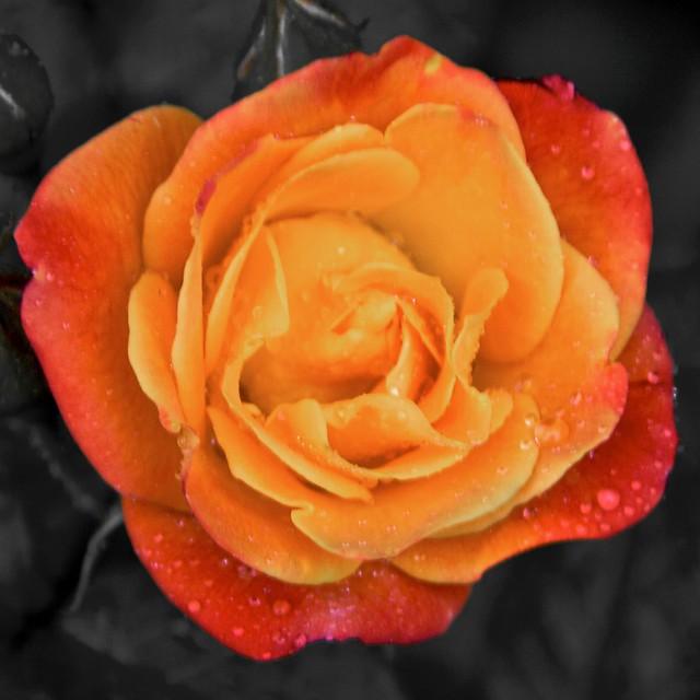 jacob u0026 39 s ladder rose