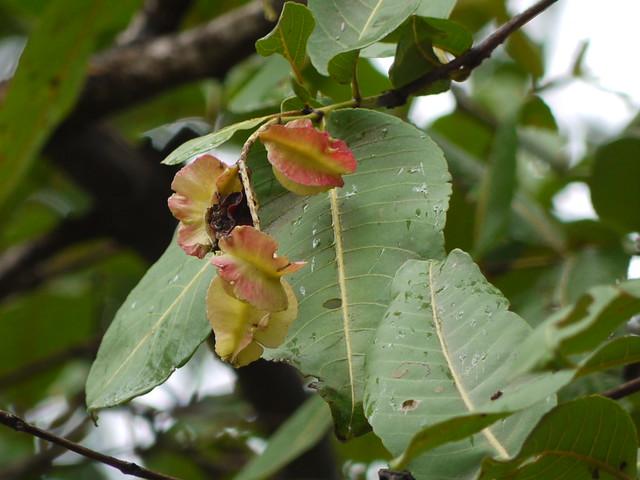 Sadad gujarati combretaceae rangoon creeper for Terrace meaning in tamil