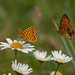 queen of spain & marbled fritillaries by roly2008.