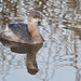 Pied-billed Grebe 20090214_5069