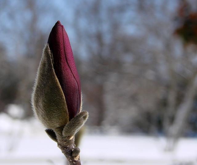 a magnolia bud